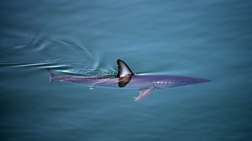The iconic shortfin mako shark is among those most threatened species