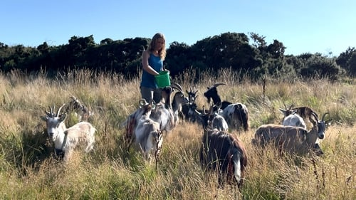 The herd of goats is being deployed in a groundbreaking conservation grazing project in Howth, Co Dublin