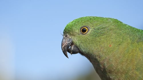 The Australian parrot had shown an average 4-10% increase in the size of its bill since 1871