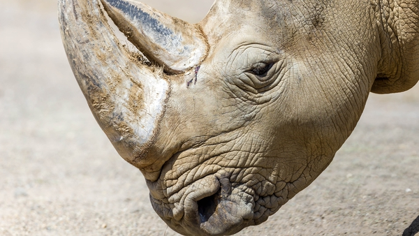 Breeding rhinoceros is difficult, as a female only gives birth to a calf once every three to four years (file pic)