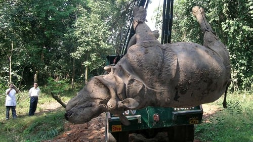 Rhinoceroses are more safely transported on their backs, according to research (file pic)