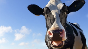 Nitrogen in cow urine breaks down into two problem substances over time - nitrous oxide and nitrate