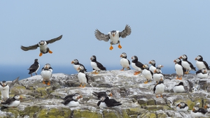 Puffins are among the little birds that head south each year to more hospitable but isolated islands