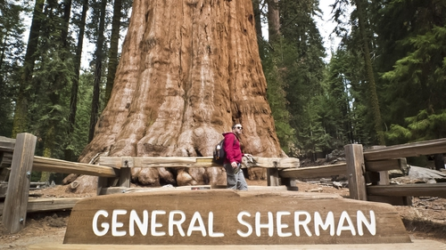 The General Sherman is the largest tree on earth by volume