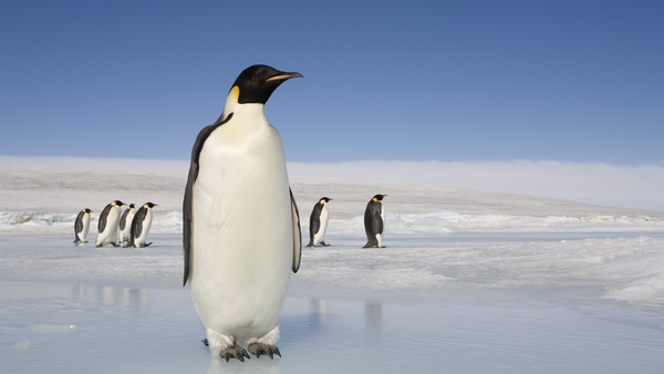 A modern-day emperor penguin. The prehistoric penguin found in 2006 was much larger, and has been dubbed 'long legs'