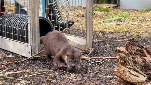 Three young otters have taken up residence in a disused tennis court in the Dunsany Estate