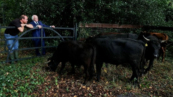 The cattle will be on the grounds of Áras an Uachtaráin for three months (Pic: Maxwell Photography)