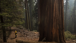 A press photographer is pictured at the base of a giant sequoia at Sequoia National Park