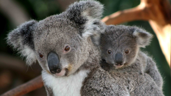 Only one area in the study was estimated to have more than 5,000 koalas, and some regions were estimated to have as few as five or 10