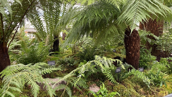 Kells Bay House and Gardens, near Cahersiveen in Co Kerry, is famous for its forest of tree ferns