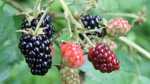 Naturefile - Blackberries