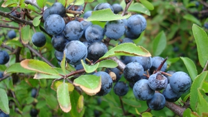 Naturefile - Blackthorn and Sloes