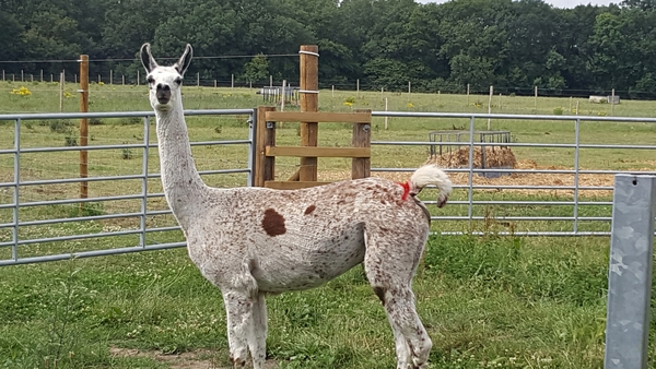 Research shows that tiny antibodies produced by llamas could provide a new treatment against coronavirus