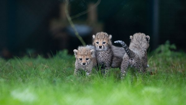 They are the latest of 238 cheetahs born at the park since 1984 (Image: Darragh Kane)