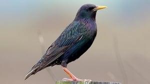 Naturefile - Starlings