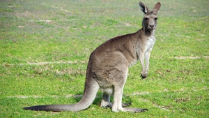 14 eastern grey kangaroos were killed in the incident (stock image)