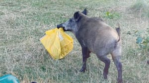 The female boar was searching for food when it took the man's bag (Pic: Adele Landauer/Instagram)