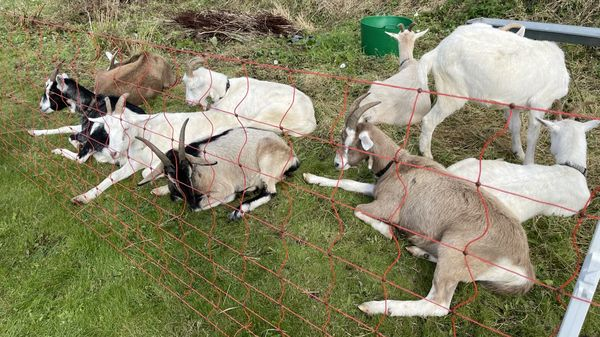 The goats have been tasked with the job of clearing the weeds and scrub at Coláiste Chríost Rí